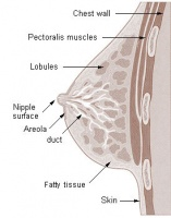 Figure 8. Breast cross section showing nipple and milk ducts